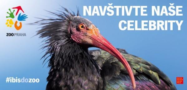 Chytání uniklých ibisů přineslo enormní zájem veřejnosti