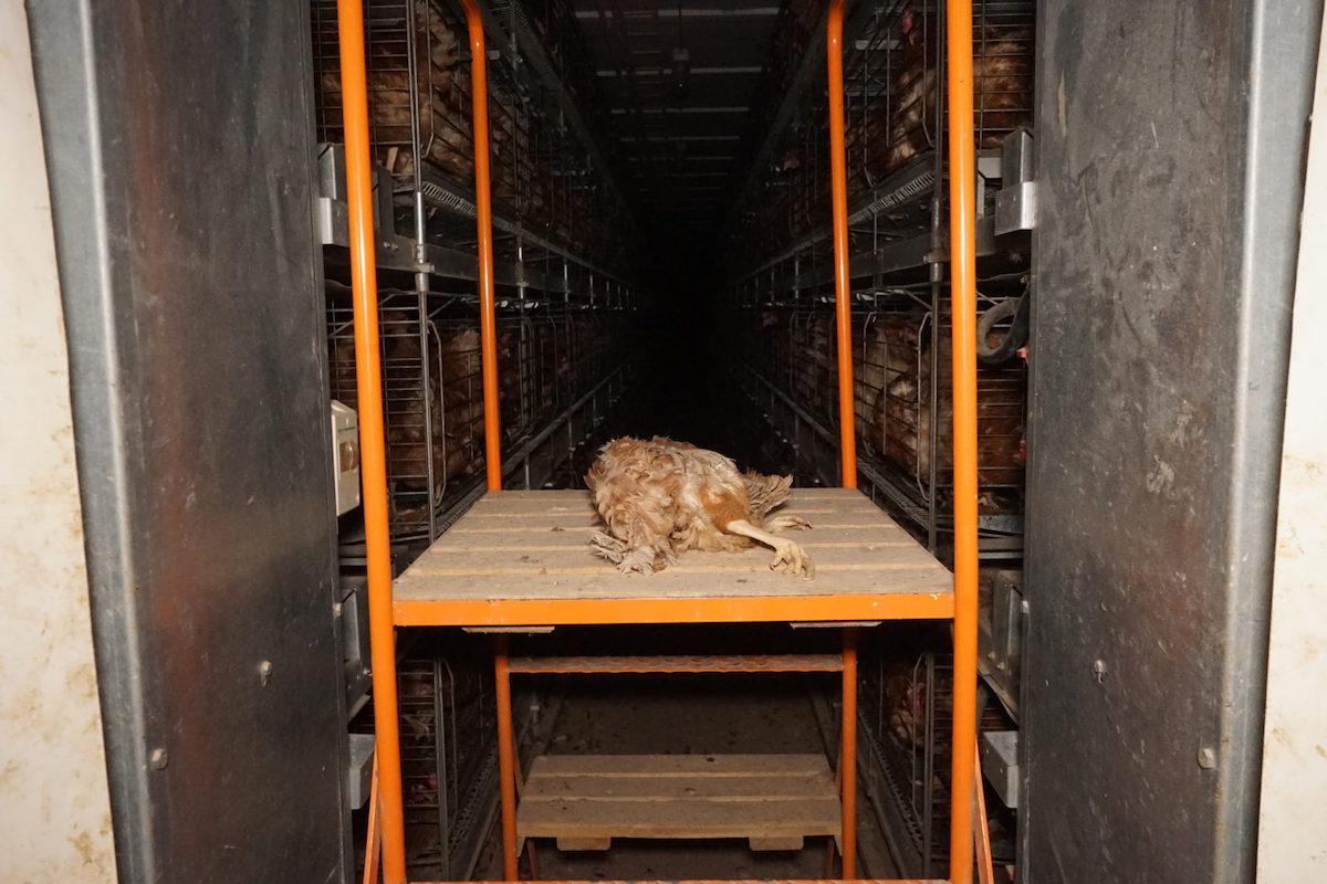 Mrtvola slepice tlející na velkofarmě v Přešticích, která patří pod Druko Střížkov spadající do Agrofertu