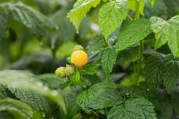 Tesco rozšíří sortiment ovoce o žluté maliny