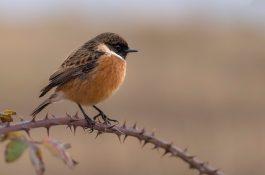 Ornitologická apka pomáhá určit ptačí druh podle jeho hlasu
