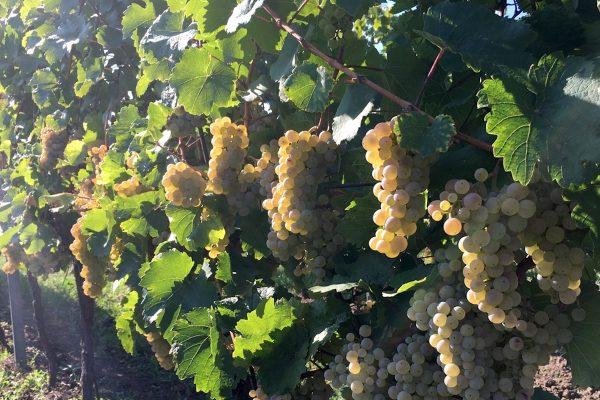 Svatomartinské víno letos přijde o tři dny dřív