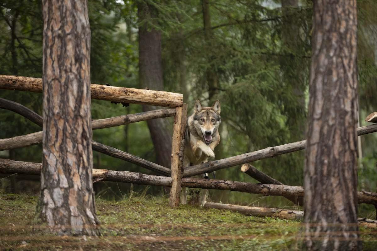 Maďarský vlk