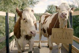 Hromadnou migraci českých stračen na Vysočinu zachycuje spot mlékárny Hlinsko